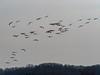 IMGPJ32855_Fk - Jackson County Indiana - Migratory Birds - Ewing Bottoms - Sandhill Cranes (David L. Black) Tags: jacksoncountyindiana birds sandhillcranes olympusomdem1mkii olympus300f4014xtc