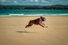 He Loves The Beach (Trevor Bowling) Tags: hugo seltap seltapboxers boxerdog boxer pup puppy dog beach sand sea dunfanaghybeach ireland donegal