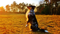 Australian Shepherd Dog Training (obscure.atmosphere) Tags: licht light ligero lumiere 光 빛 deutschland germany hamburg natur nature naturista naturaleza 自然 자연 wald forest bosque selva foret 森林 숲 woods dog hund chien australian shepherd young jung hond كلب 狗 hundo koira σκύλοσ कुत्ता anjing cane 犬 개 pies собака пас perro สุนัข köpek pes chó inja landscape landschaft paisajes region paysage 景色 의풍경 gebüsch bush sunshine 日 태양 sunlight cute niedlich exposure laub foliage sunny winter invierno hiver 冬 겨울
