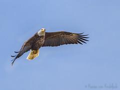 Bald Eagle (KvonK) Tags: baldeagle eagle nature wild inflight kvonk march 2018 nikond500 nikon200to500mm cropped handheld