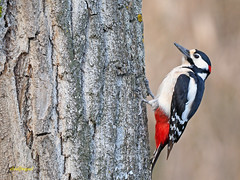 Pico picapinos (Dendrocopos major)   (13) (eb3alfmiguel) Tags: aves pájaros carpintero piciformes picidae pico picapinos dendrocopos major pájaro árbol hierba animal bosque madera