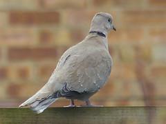 collared dove romeo (river crane sanctuary) Tags: birds collared dove river crane