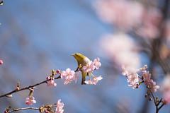 _DSC0845.jpg (plasticskin2001) Tags: mejiro sakura flower bird