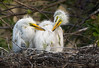 Great Egret Chicks (Randy Lowden) Tags: greategret egret chicks nest randylowden florida gatorworld canon