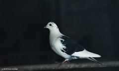 Pigeon (Trevdog67) Tags: farm barn abandoned pigeon bird white