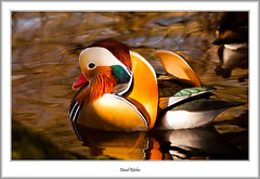 Mandarin (flatfoot471) Tags: 2017 balloch bird duck mandarin march nature normal riverleven rural scotland spring unitedkingdom westdunbartonshire gbr