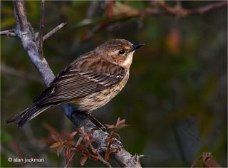 Yellow Rumped Warbler, Birds of the Circle B Bar Reserve
