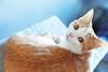 Camilla from Ottawa (kirstiecat) Tags: cat feline meow purr catcafe ottawa caturday chat gato canada felinecafeottawa
