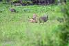 DSC_9625 (H Sinica) Tags: 博茨瓦納 botswana chobe chobenationalpark safari guineafowl 珍珠雞 jackal 狐狼
