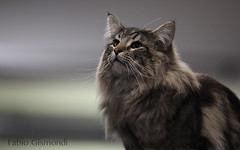 @ THE CONTEST (fabiogis50) Tags: mainecoon cat gatti pet contest coth5