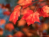Autumn Blaze (Eden Bromfield) Tags: edenbromfield acer redmaple tree nature leaves autumn red vibrant blaze bokeh meyeroptikprimoplan5818 primoplan vintagelens canada sun sunshine light bright crimson maple