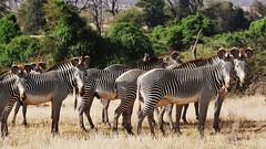 A Herd of Grevy's Zebras (Equus grevyi) (Susan Roehl) Tags: kenya2015 lewawildlifeconservancy lewadowns kenya eastafrica grevyszebra herd equusgrevyi mostendangered relatedtohorse animal mammal herbivore grazing imperialzebra subgenusdolichohippus alsofoundinethiopia tall largeears narrowstripes semiarid grasslands grass legumes 5dayswithoutwater doesnotliveinharems fewlonglastingsocialbonds sueroehl photographictours naturalexposures panasonic lumixdmcgh4 100300mmlens handheld cropped ngc