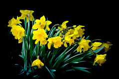 we seem to fall down (cesa lojosa) Tags: blumen narzissen gelb cesalojosa flowers nacissi yellow blumenstraus bunchofflowers