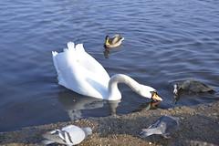 _DSC8201 (The Unofficial Photographer (CFB)) Tags: bushyparkroyalparks londonlife feathredfriends sunrise deardiarymar2018 swan swans featheredfriends