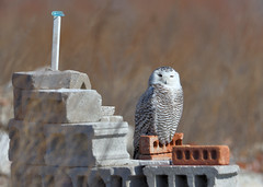 DSC_0097_edit (Hanzy2012) Tags: toronto ontario wildlife canada bird nikon d500 afsnikkor500mmf4difedii owl snowyowl buboscandiacus nature wild