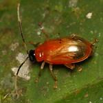 Flea beetle, Disonycha sp.? Chrysomelidae thumbnail