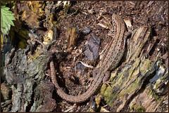 Common Lizard (Full Moon Images) Tags: woodwalton fen greatfen bcn wildlife trust nnr national nature reserve cambridgeshire reptile common lizard