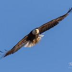 Female Bald Eagle returns home - 3 of 31 thumbnail