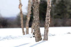 Trees in the snow (stephencharlesjames) Tags: snow trees outdoors winter middlebury vermont new england woods