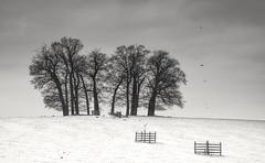 Calke Copse (Captain Nikon) Tags: birds nikon moody calkeabbey derbyshire estate copse monochrome blackandwhite carrioncrows silhouettes snow winter seasons landscapephotography outdoorphotography england greatbritain
