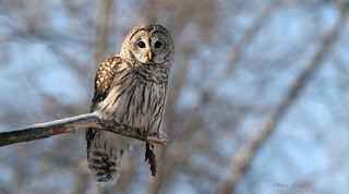 Chouette rayée \ Barred Owl