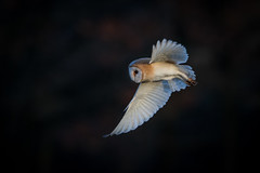Barn Owl (PINNACLE PHOTO) Tags: barnowl bird tytoalba tytonidae nocturnal dusk dawn feathered heartshapedface birdofprey hunter silent pretty buff white beak owl martinbillard wildlife uk canon