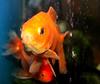 IMG_0261 (sally_byler) Tags: aquarium toro loco mexican restaurant water bubbles fish