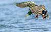 Mallard (gilamonster8) Tags: mallard duck drake explore explored eos ef400mm56l bird lake pond flight fly canon common animal 7dmarkii