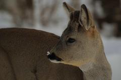 snø på nesen / snow on nose.... (KvikneFoto) Tags: rådyr roedeer tamron nikon natur norge hedmark kvikne vinter winter snø snow 2018 bokeh