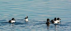Five little duckies, all in a row . . . (Dr. Farnsworth) Tags: birds ducks seagulls snowyowls male female commongoldeneye bufflehead muskegon mi michigan spring march2018