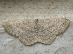 Scopula nigropunctata - Sub-angled wave - Малая пяденица чистецовая (Cossus) Tags: geometridae scopula sterrhinae пяденица 2009 анциферово
