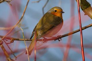 Gut versteckt im roten Busch - Robin - Rotkehlchen (Erithacus rubecula)
