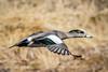 Wigeon Flight (BernieErnieJr) Tags: wigeon duck bird colorado coloradowildlife wildlife sonya9 frontrange greatphotographers teamsony rockymountains bernie duhamel flight flying sonyfe100400mm