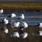 Ring-billed Gulls thumbnail