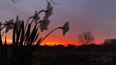 Texas sunrises. Worth getting up early for. (Explored 3-8-18) (peppermcc) Tags: sky daffodils spring sunrise texas