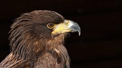 Steppenadler (karinrogmann) Tags: steppenadler steppeeagle aquiladellesteppe greifvogelstationhellenthal