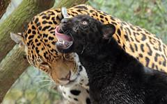 jaguar artis BB2A8578 (j.a.kok) Tags: jaguar jaguarcub blackjaguar jaguarwelp zwartejaguar artis pantheraonca animal kat cat mammal zoogdier dier zuidamerika southamerica moederenkind motherandchild rica