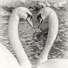 Mute Swans (warren hanratty) Tags: wwt wwtslimbridge warrenhanrattyphotography muteswan cygnusolor gloucestershire swan slimbridge