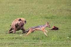 The uneven game pt. II (Thomas Retterath) Tags: adventure wildlife abenteuer natur nature safari kenya africa afrika masaimara thomasretterath blackbackedjackal schabrackenschakal canidae raubtiere predator carnivore säugetier mammals animals tiere canismesomelas spottedhyaena hyaena crocutacrocuta hyäne hyaenidae tüpfelhyäne
