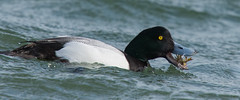 Scaup - Adult Male (John Tymon) Tags: seaduck scaup rare hoylake bird crab