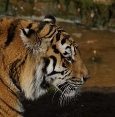 Yorkshire Wildlife Park 20.02.2018 085 (Andrew Burling (SnapAndy1512)) Tags: yorkshirewildlifepark20022018 yorkshirewildlifepark tiger amurtiger bigcats animals zoo