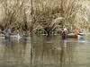 Mandarin Ducks, Longshaw Estate 2018 (Dave_Johnson) Tags: longshaw longshawestate nationaltrust nt peakdistrict derbyshire mandarinduck mandarin duck ducks bird birds wildfowl pond lake