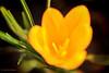 krokus-detail (Don Pedro de Carrion de los Condes !) Tags: donpedro d700 detail macro krokus crocus lente voorjaar bloembol glowing petals bloembladeren stuifmeel