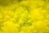 Rapeseed field (Tomo M) Tags: canola smileonsaturday sunnyyellow yellow 菜の花 spring bokeh light blur dof pentacon