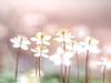 Pastel Hepatica (Tomo M) Tags: 雪割草 ユキワリソウ soft dreamy pastel spring bokeh blur nature バイカオウレン
