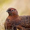 Red Grouse (Gordon Nicoll) Tags: bird wildbirds angus redgrouse scotland wildlife angusglens glenlethnot
