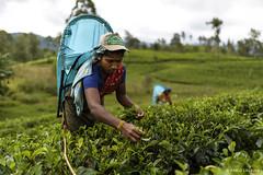 Una mujer recoelcta té en las plantaciones de Sri Lanka. (Plasaosa) Tags: plantaciondete srilanka te tea teaplantation women nuwaraeliya pablolasaosa fotografia fotografo fotoperiodismo fotoreportaje photography photo nikon photojournalism photoreport dickoyahatton