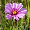 Cosmea. (Cajaflez) Tags: cosmea fleur pink roze bloem ngc coth5