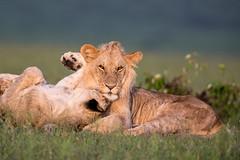 Lions (Thomas Retterath) Tags: adventure wildlife abenteuer nature natur safari kenya africa afrika masaimara thomasretterath löwin pantheraleo lion bigfive löwe felidae raubtiere predator carnivore säugetier mammals animals tiere lioness cub