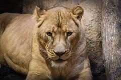 Lioness (djcotto1971) Tags: animal zagreb croatia zoo maksimir park wild cats cat lioness wildlife outdoors